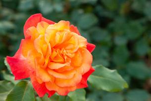 バラの花の写真素材 [FYI01264060]