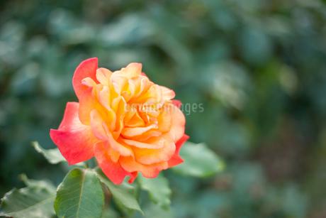 バラの花の写真素材 [FYI01264061]