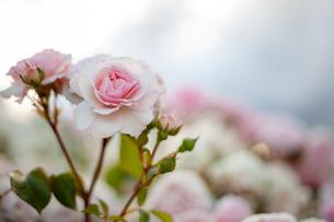 バラの花の写真素材 [FYI01264062]