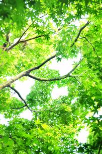 見上げた新緑のもみじの写真素材 [FYI01264064]