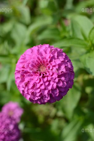 丸い可愛い花の写真素材 [FYI01264081]