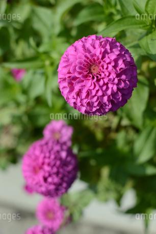 丸い可愛い花の写真素材 [FYI01264082]