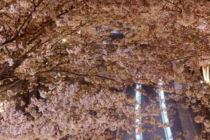 桜と自動車の写真素材 [FYI01264180]