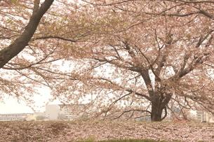桜のイメージの写真素材 [FYI01264194]