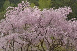 八王子の桜の写真素材 [FYI01264277]