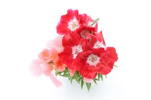 イロマツヨイグサの花束の写真素材 [FYI01264453]