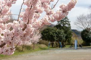 桜の写真素材 [FYI01264456]
