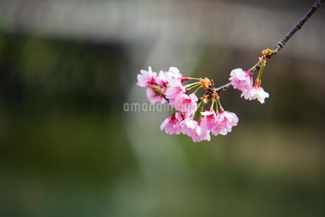 桜の写真素材 [FYI01264457]