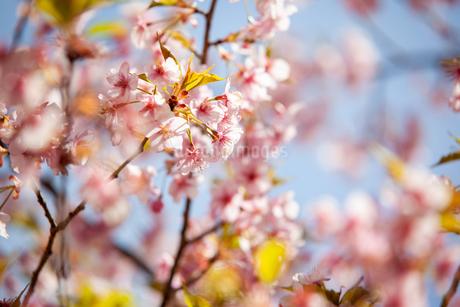 桜の写真素材 [FYI01264458]