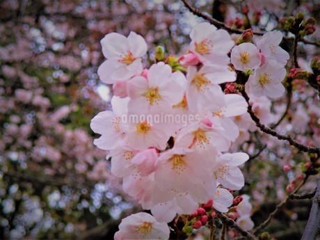 小田原の桜の写真素材 [FYI01264485]