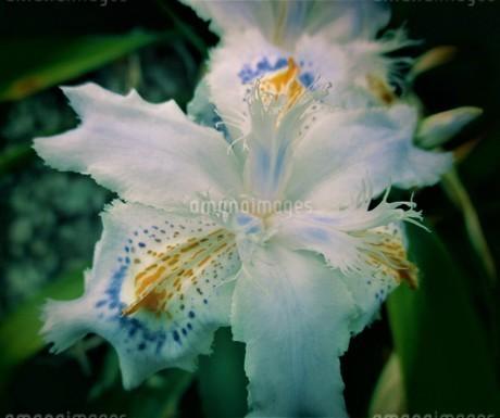 シャガの花の写真素材 [FYI01264493]