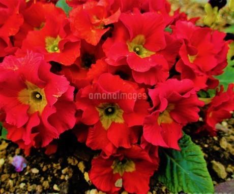 春の花壇の花の写真素材 [FYI01264514]
