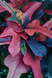 南国の植物のクロトンの写真素材 [FYI01264743]