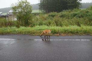 知床半島の自然動物(キタキツネ)の写真素材 [FYI01264781]