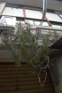 建物から垂れる植物の写真素材 [FYI01264810]