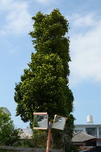 南国の大木とカーブミラーの写真素材 [FYI01264826]