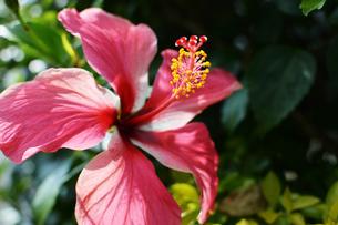 南国のハイビスカスの写真素材 [FYI01264828]