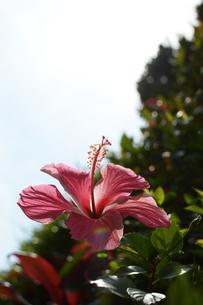 南国のハイビスカスの写真素材 [FYI01264829]