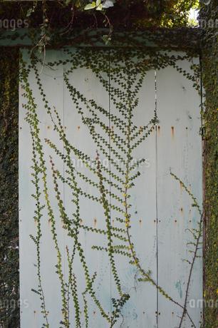 白い板の扉を這うツタの写真素材 [FYI01264832]