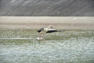 宮古島/コウノトリの写真素材 [FYI01264835]
