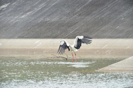 宮古島/コウノトリの写真素材 [FYI01264838]