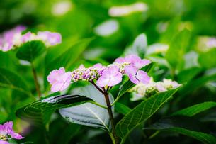 額紫陽花の写真素材 [FYI01264843]
