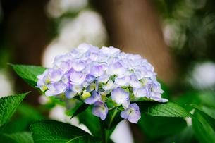 紫陽花の写真素材 [FYI01264844]