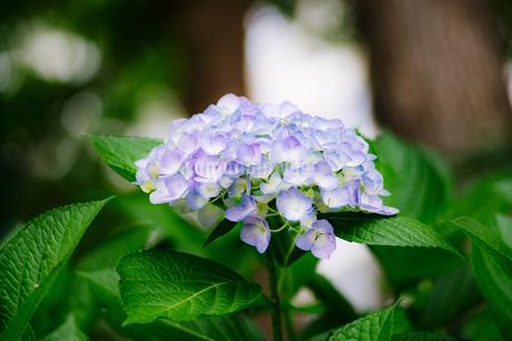 紫陽花の写真素材 [FYI01264845]