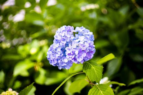 紫陽花の写真素材 [FYI01264846]