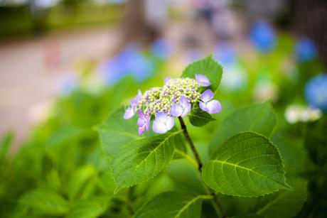 額紫陽花の写真素材 [FYI01264847]