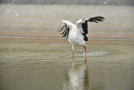 宮古島/コウノトリの写真素材 [FYI01264867]