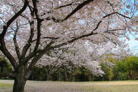 公園の桜の写真素材 [FYI01264899]