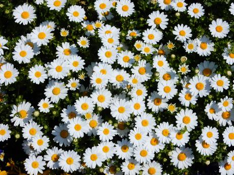 ノースポールの花の写真素材 [FYI01264903]