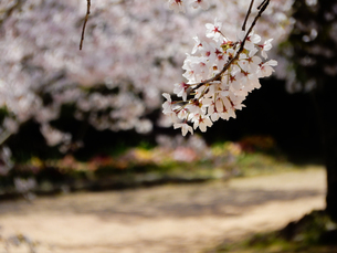 公園の桜の写真素材 [FYI01264904]