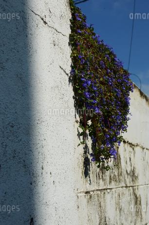 白い壁に垂れさがる植物の写真素材 [FYI01264944]