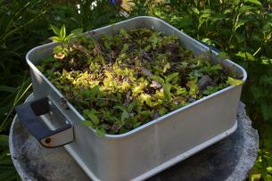 鍋が植木鉢として再利用されているの写真素材 [FYI01264945]
