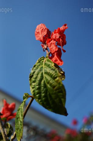 枯れかかっている赤い花の写真素材 [FYI01264953]
