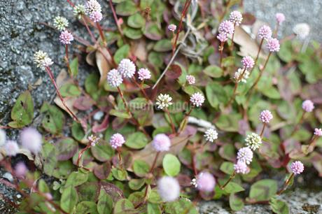路地裏に小さな集まって咲いている花の写真素材 [FYI01265068]