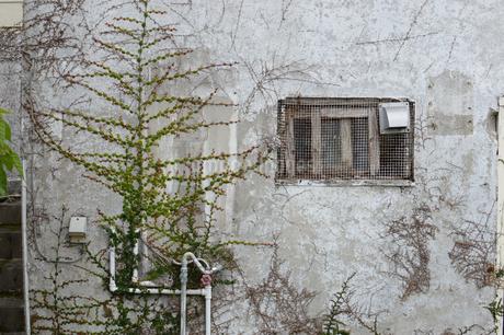 古い白い壁を這うツタの写真素材 [FYI01265069]