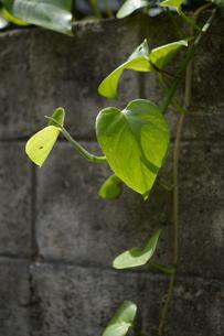 ブロック塀に生える南国の植物の写真素材 [FYI01265071]