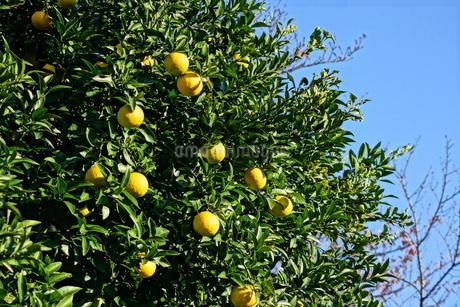 柑橘類フルーツのイメージの写真素材 [FYI01265118]