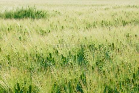 麦畑のイメージの写真素材 [FYI01265152]