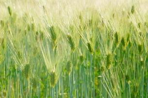 麦畑のイメージの写真素材 [FYI01265154]