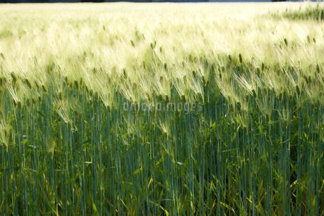 麦畑のイメージの写真素材 [FYI01265156]