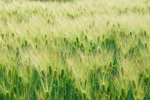 麦畑のイメージの写真素材 [FYI01265157]