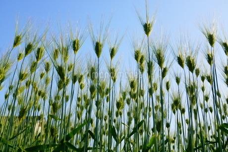 麦畑のイメージの写真素材 [FYI01265158]