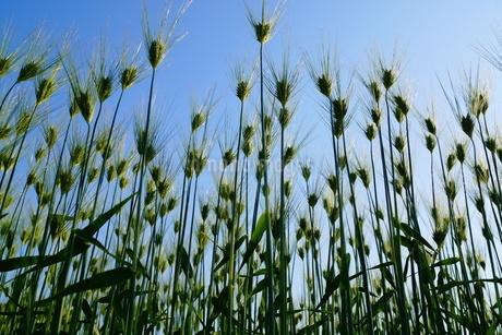 麦畑のイメージの写真素材 [FYI01265159]