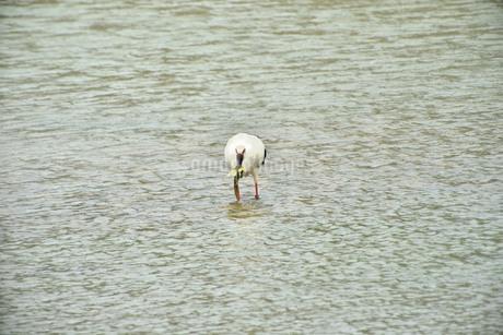 宮古島/コウノトリの写真素材 [FYI01265167]