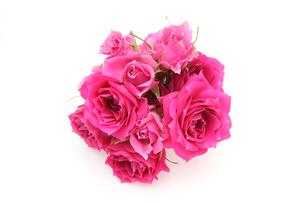 薔薇の写真素材 [FYI01265177]