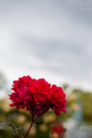 バラの花の写真素材 [FYI01265180]